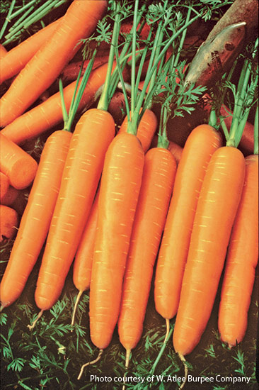 v-eg-planting-tips-for-five-easy-veg-4: 'Scarlet Nantes' carrots are ideal for eating fresh or adding to stews and soups (they make consistent-size carrot coins)