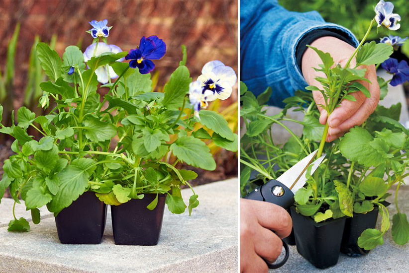 how-to-grow-pansies-trim-leggy-flowers