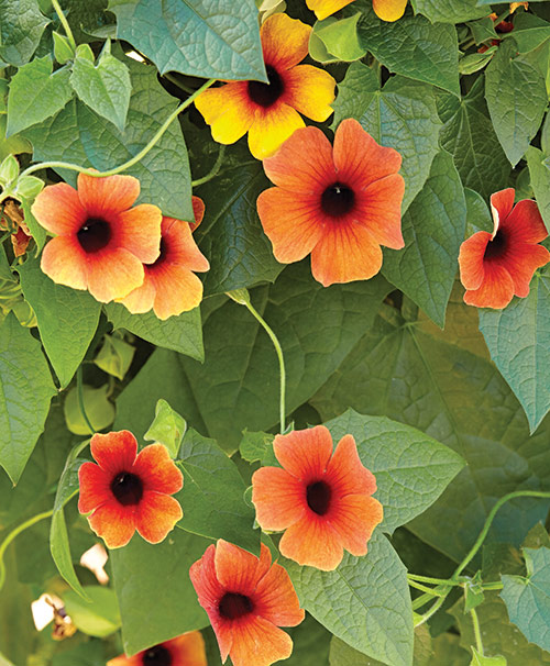 4 plants with long blooming color garden gate magazine Black eyed susans