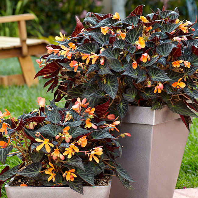 Sparks-will-fly-tuberous-begonia-containers: Try planting single specimen tuberous begonias like Sparks Will Fly above in matching containers for impact.