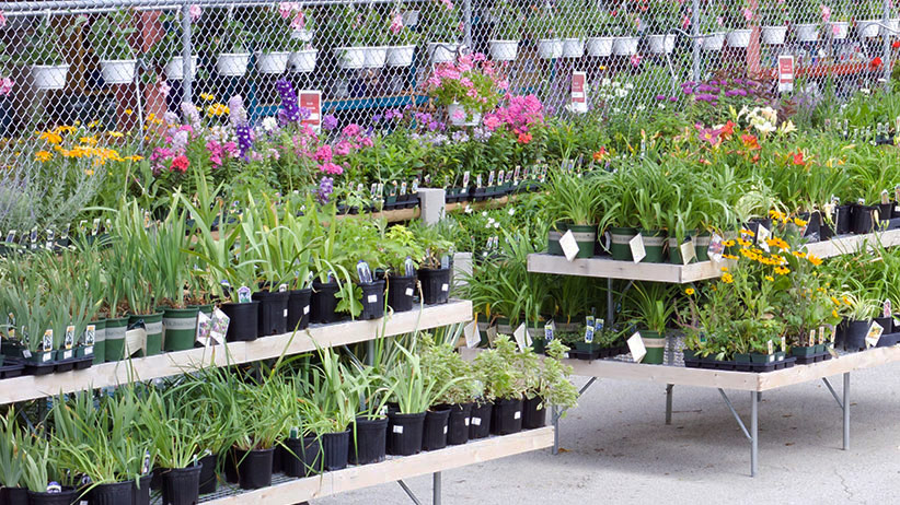 Rows of plants at the garden center: Shopping at the garden center can be overwhelming, read our helpful tips below to help navigate your options.