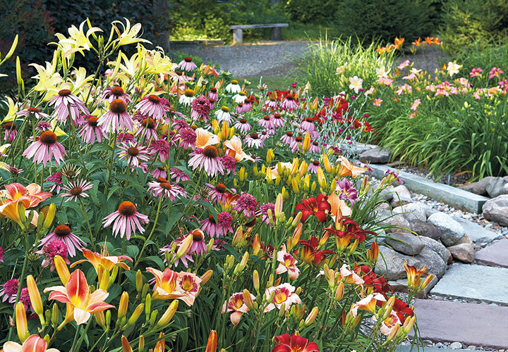 Grow-your-best-coneflowers-border-with-daylily: Deadhead coneflowers to keep them blooming sporadically even into fall. The butterflies will thank you!