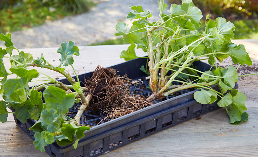how-to-overwinter-geraniums-get-out-of-the-ground:You will want to dig up your geraniums before a hard freeze to save over winter.