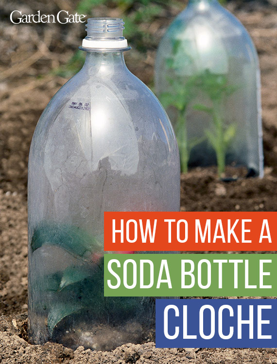 How-To-Make-A-Soda-Bottle-cloche-Garden-Gate-Magazine: Upcycled soda bottle cloches are a cost-effective way to protect new plants in your garden.
