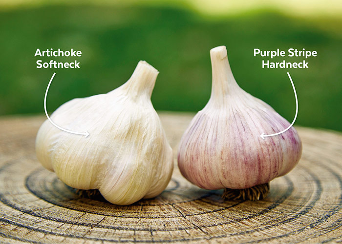 Softneck garlic comparison to hardneck garlic: There are two main types of garlic: Hardneck and softneck.