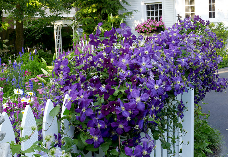 'Jackmanii' clematis on white picket fence: 'Jackmanii' clematis has purple blooms in early summer.