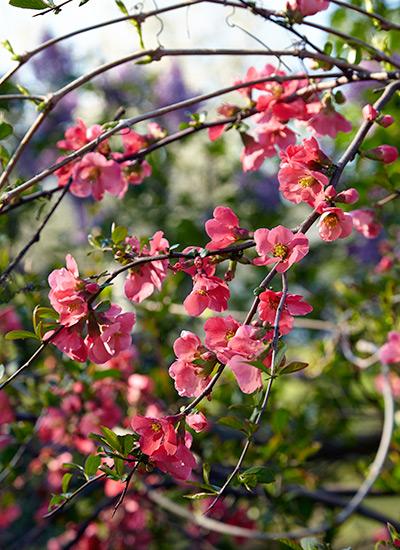 Spring Blooming Shrubs Garden Gate