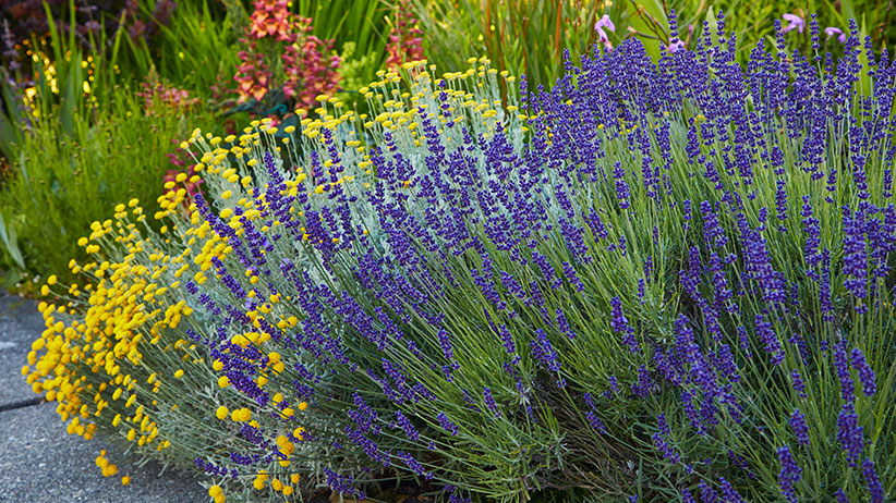 How To Prune Lavender Garden Gate