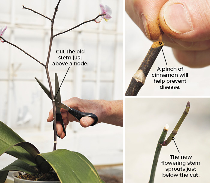 How to get an orchid to rebloom: Cut just an inch or two off the tip of a single finished bloom spike, or the top portion of a branched spike like this one.