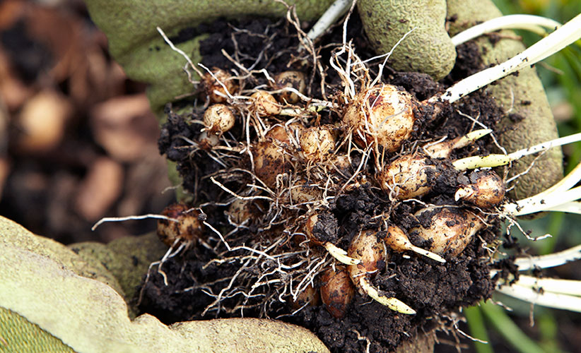 growing-beautiful-grape-hyacinth-get-more-plants: With just a little digging, you can get lots of new starts from a cluster of bulbs like this.