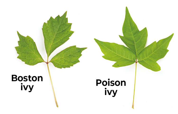Poison-Ivy-lookalikes-Boston-ivy-poison-ivy