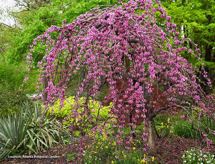 Foundation-plants-by-shape-redbud-weeping: Weeping plants like this 'Traveller' redbud lead your eye downward.