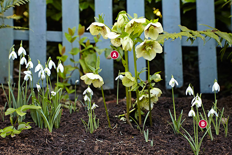 winter-plant-combinations-Hellebore-snowdrop: Snowdrops and hellebore pop up in the middle of winter to remind us that spring is on its way.