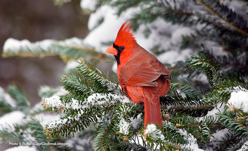 repurpose-your-live-christmas-tree-for-the-birds: Repurpose your live christmas tree in the garden by leaving it out for the birds.