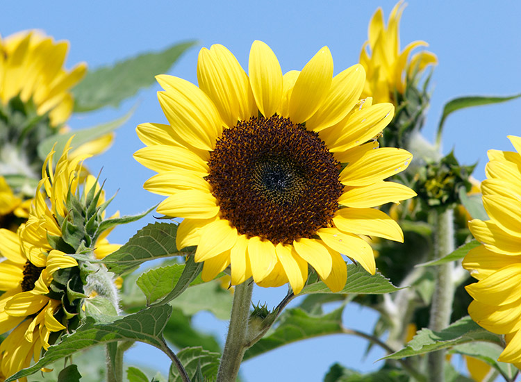 7-sunflower-varieties-for-your-garden-Ballad
