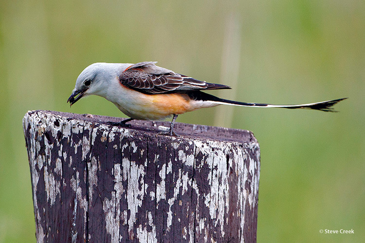 welcome-birds-to-your-garden-watch-the-birds-feed-copyright-Steve-Creek: Scissor-tailed flycatchers — found mostly in Texas — use their long tails to help them swoop and make sharp turns as they grab insects in midair.