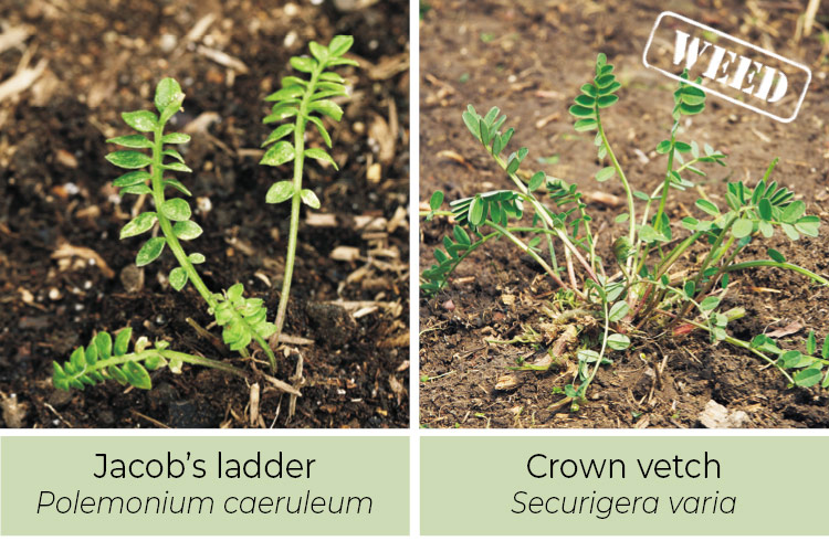 Identifying-weeds-Jacobs-letter-or-crown-vetch: Jacobs ladder thrives in shade while crown vetch is mostly found in sunny spots.