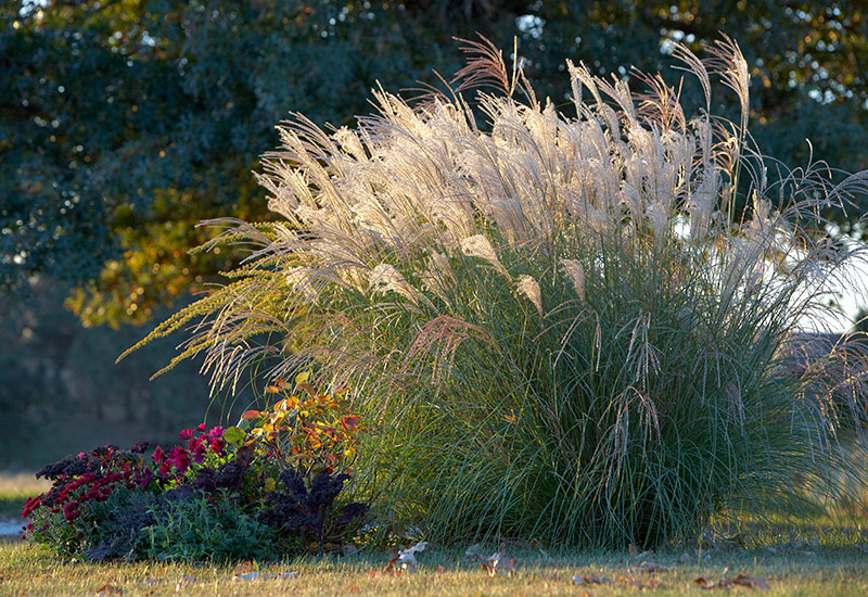 best-maiden-grasses-lead2: It's hard to miss the pretty gold-copper flowers of 'Yaku Jima' in late summer and fall. Later its leaves gradually turn the same rich golden color.