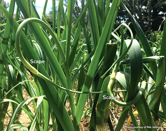 Garlic scapes photo by Niki Jabbour: Clip hardneck garlic scapes when they look like this to get bigger garlic bulbs.