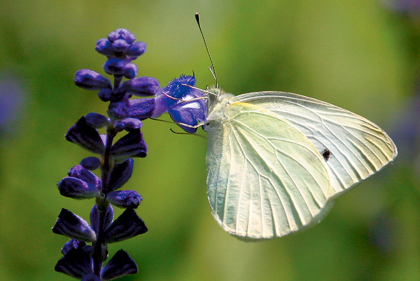 Common-backyard-butterflies-Cabbage-White: Cabbage whites arrive in early spring and stay until late fall, even in colder climates.