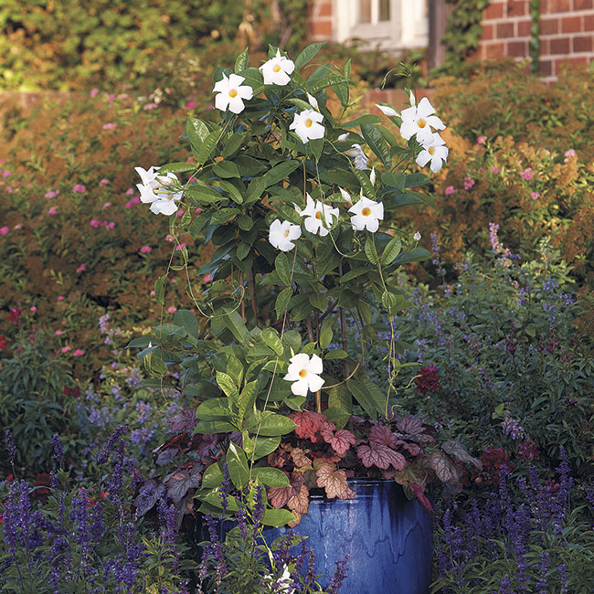 mandevilla blue container: Sun Parasol Giant White mandevilla grows 10 to 15 feet tall. In this pot it's paired with 'Georgia Peach' coral bells.
