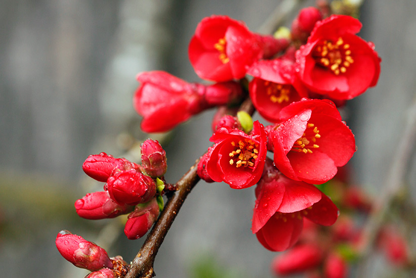 winter-flowering-shrubs-flowering-quince: The flowers on this early-blooming flowering quince last a couple weeks.
