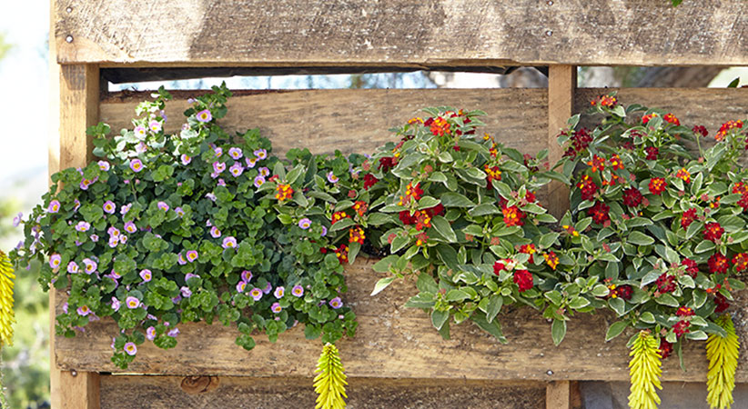 upcycled-pallet-planter-planting2: Lantana and bacopa are heat- and drought-tolerant so will grow well even if your pallet planter is in a sunny location.