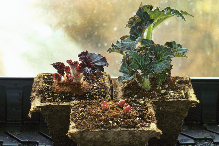 Growing-tuberous-begonias: Plant tubers in small pots of damp peat moss. Turn the plants every week so they grow evenly toward the light. If any flower buds form at this stage, pinch them off .