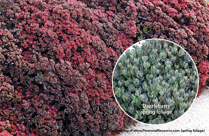 Dazzleberry-sedum-summer-and-spring-foliageR:'Dazzleberry' sedum looks great in every season.