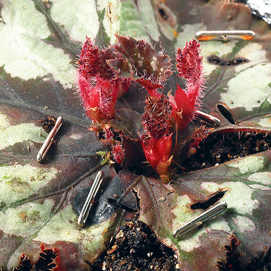A new rex begonia plant could sprout from each cut on the leaf.