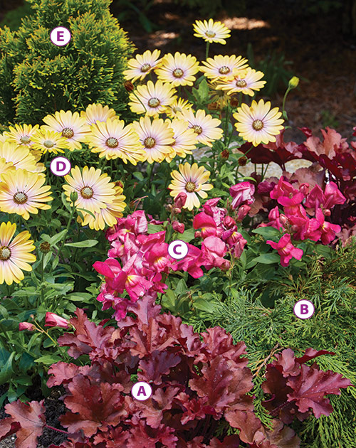 cool-season-plant-combinations-colorful-planting: This pretty planting of cape daisies and snapdragons add color in cool-weather.