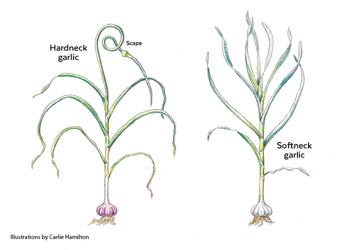 Botanical Illustration of hardneck and softneck garlic by Carlie Hamilton