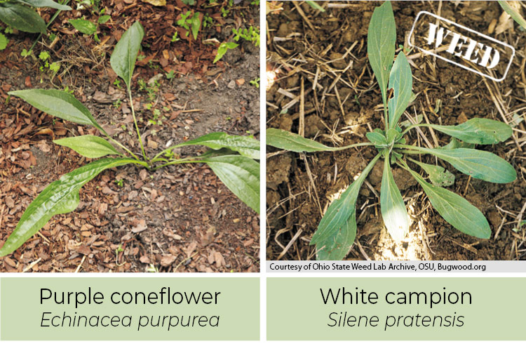 Purple coneflower and white campion comparison: Purple coneflower leaves are more pointed than white campion.