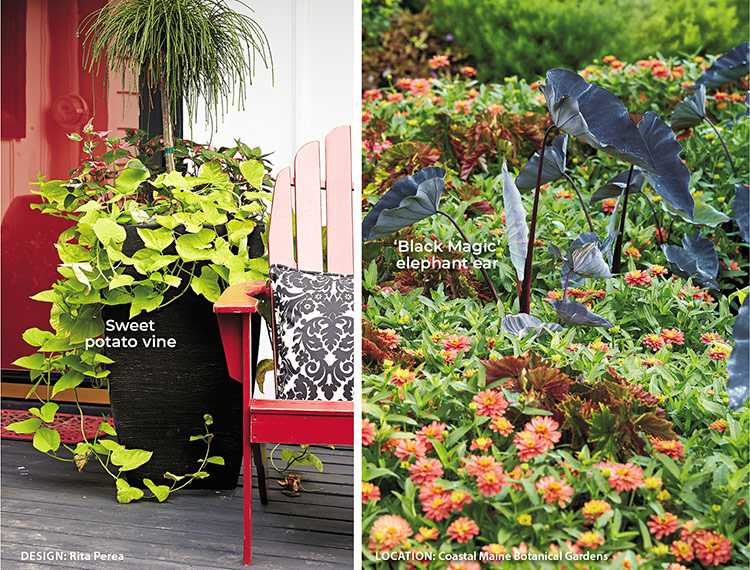Designing with Black flowers and plants, Using black as a focal point:  Start incorporating pops of black into your garden with containers and statement plants.