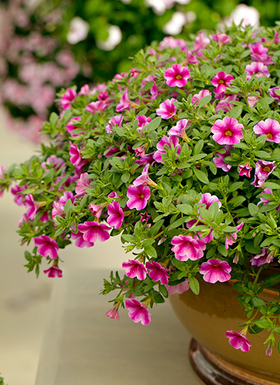 Meet 12 Of The Best Container Plants, What Plants Are Good For Patio Planters