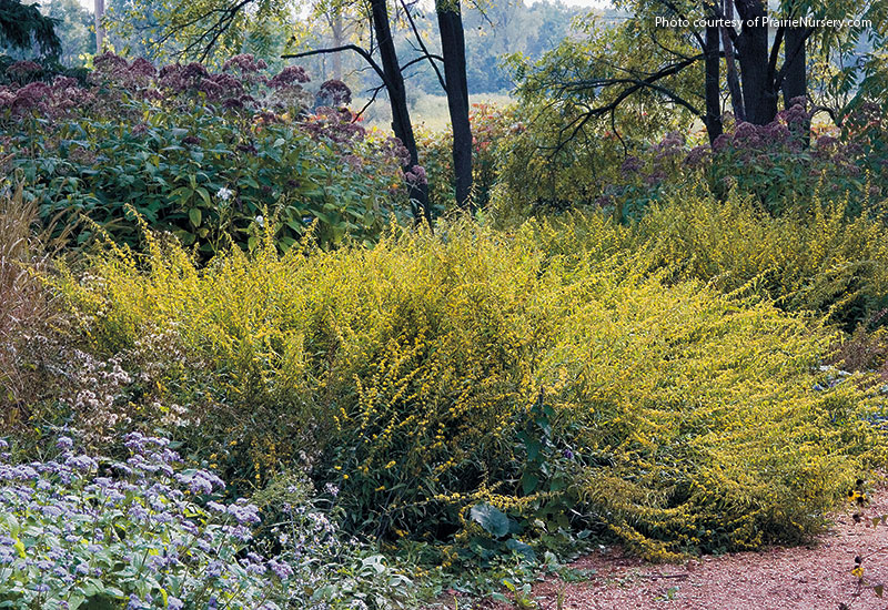 Designing-with-goldenrod-blue-stemmed-goldenrod: Unlike many goldenrods, blue-stemmed goldenrod grows best in part shade but tolerates full sun. It's not an aggressive form, so it plays well with others in the middle of the border, where it stands 2 to 3 ft. tall and wide.