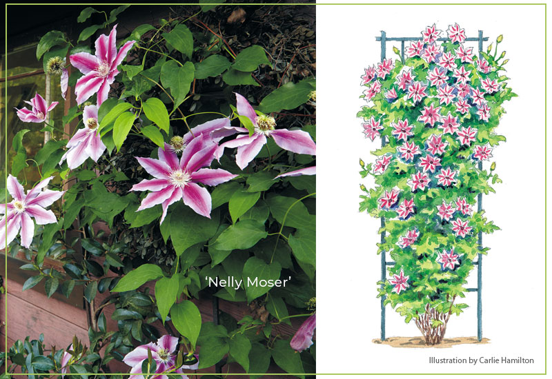 Nelly-Moser-clematis-with-illustration: The showy summer blooms of 'Nelly Moser' clematis are mauve pink with a deep pink bar.