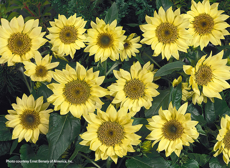 7-sunflower-varieties-for-your-garden-Pacino