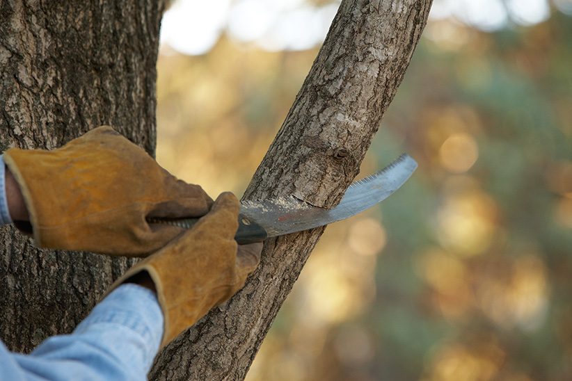 GW tools-prunning-saw: For larger branches like this, a pruning saw is your best choice.