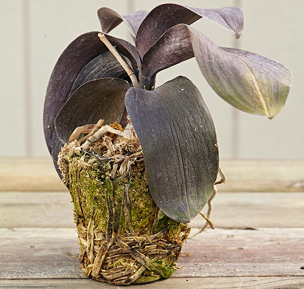 Discolored roots on orchid plant: The flattened discolored roots of this phalaenopsis and the presence of algae confirm that the leaves are wrinkled because of overwatering.