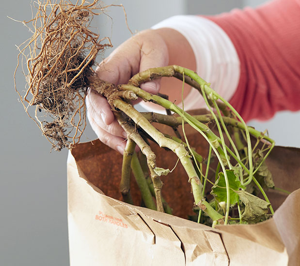 how-to-overwinter-geraniums-put-into-box-or-bag:Store your geraniums through winter in a paper bag or cardboard box in a cool, dry location, at about 50 to 60 degrees F.