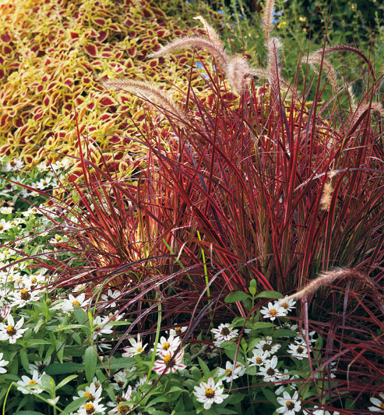 coleus, fountain grass, zinnia plant combination: Add a warm glow to your fall garden with this low-maintenance plant combination!