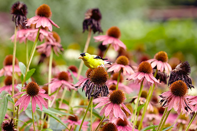 Grow-your-best-coneflowers-leave-seedheads-for-the-birds2: In many parts of North America, American goldfinches remain year-round, so leaving seedheads on the plant will keep them coming back to your yard.