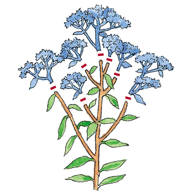 Pruning illustration to show how to encourage a rebloom