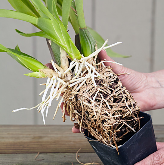 ht-repot-orchid-packed-roots: There's not much medium left here and the roots are so packed in, they're bursting out of the pot.