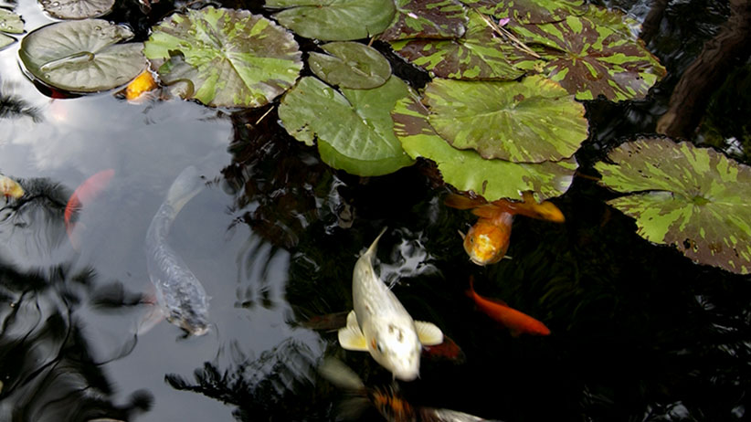 Look out for these plants toxic to fish   Garden Gate