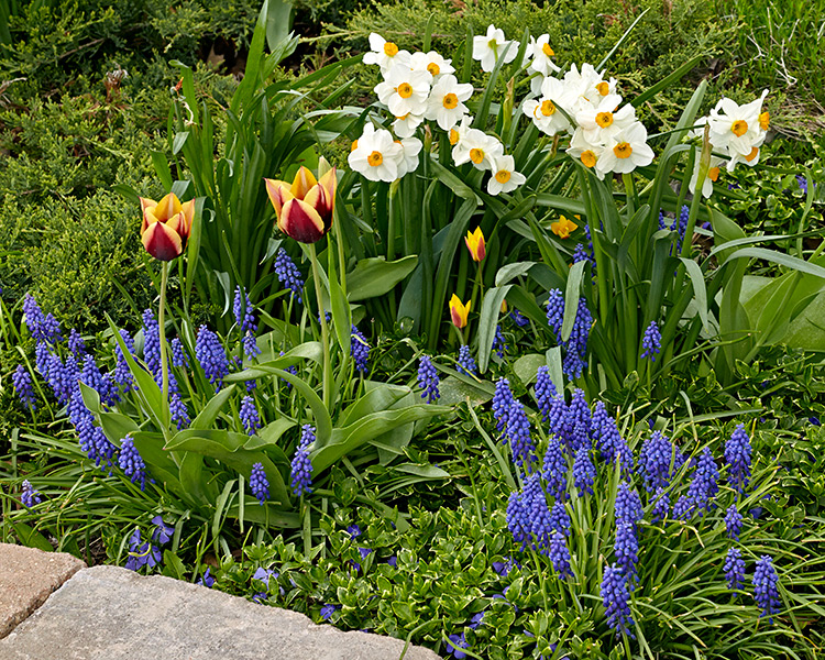 Daffodil, tulips and grape hyacinth blooming in spring: Add beautiful color to garden beds with spring-flowering bulbs!