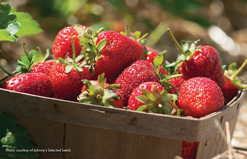 How-to-start-a-strawberry-patch-pv: A single strawberry plant can produce up to a quart of berries in a season, so you don't need many to satisfy a craving for these delectable red beauties. It is definitely worth the effort