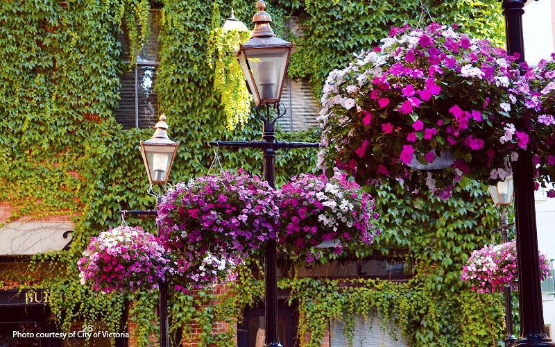 Hanging-basket-hacks-City-of-Victoria: At the peak of the growing season these big baskets can weigh 40 to 50 pounds. They hang from three heavy-duty steel rods that join at the top in a loop which attaches to the lamppost.