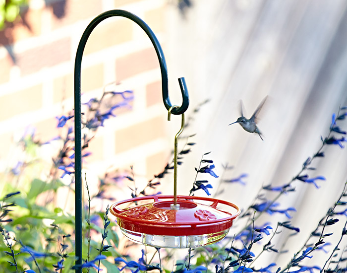 hummingbird-feeder-placement: Most hummingbirds are territorial and can be very aggressive at feeders.